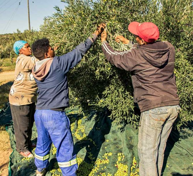 Harvesting of Olives on Oudewerfskloof Farm