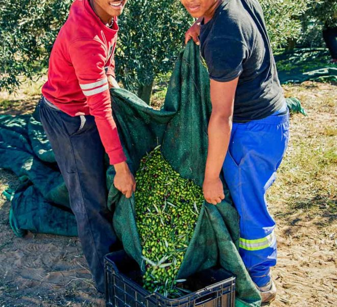 Harvesting of Olives on Oudewerfskloof Farm